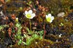 Tufted Saxifrage (Saxifraga cespitosa)